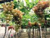 FOR SALE... Grafted Fruit Trees and Dwarf Coconut